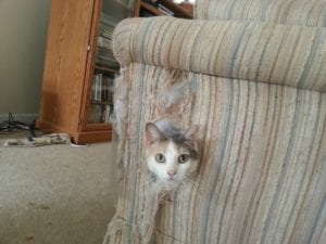 Declawing does not prevent a cat from destroying furniture