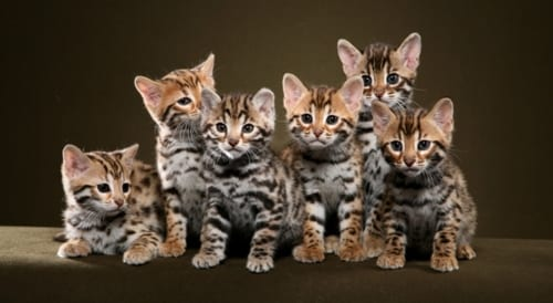 Bengal cats a lot of cute and personality