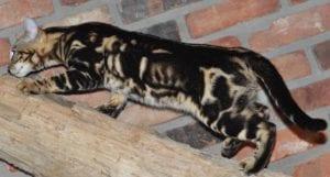 Brown Marble Bengal Cat