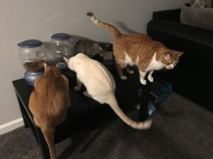 how long cat cats go without food
